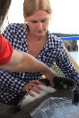 Collecting a blood sample from a Galapagos penguin